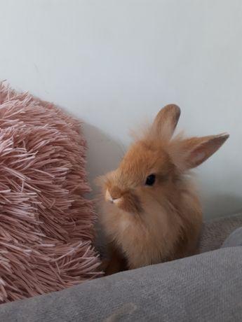Sprzedam króliczka miniaturkę.