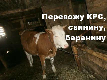 Перевожу быки, коровы, телки