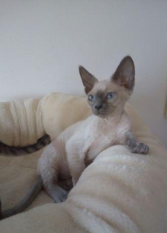 Niebieskooki kocurek Devon Rex z rodowodem FPL