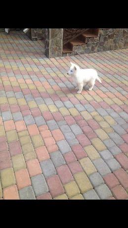 Швейцарська вівчарка щенятка