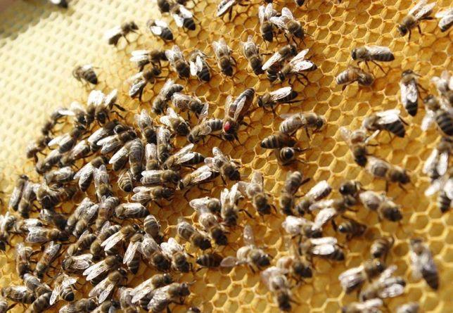 (Бджоломатка – Карника) Матка Карники, линия Пешец. Пчеломатки