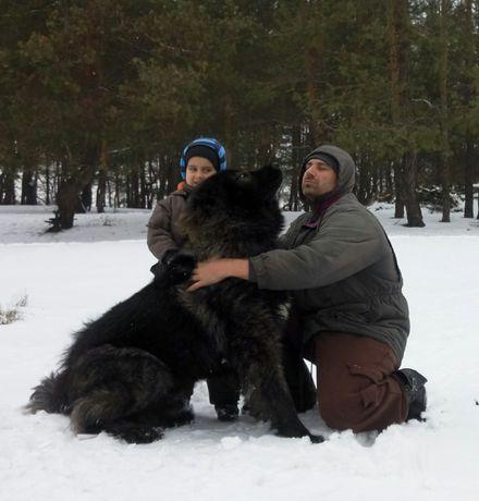 Кобель кавказской овчарки, вязка