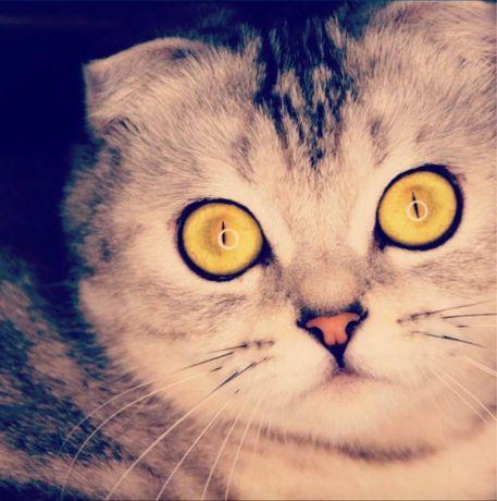 Коти шотланськоі вислоухоі
