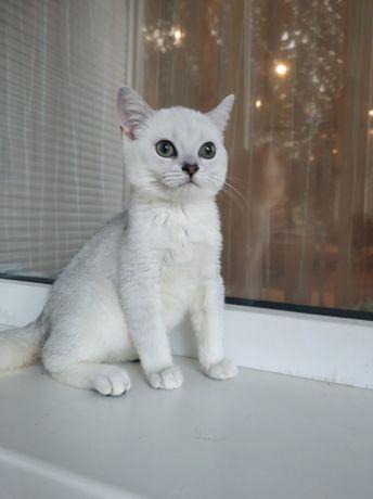 Британские котята с зелёными глазами