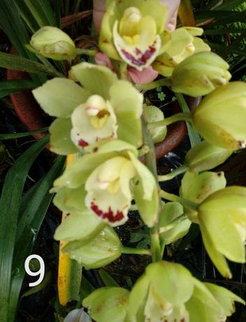 Orquídeas- mudas e vasos