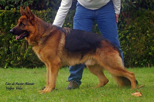 Cães de Pastor Alemão - Filho de Campeões Internacionais
