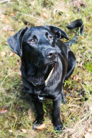 Tulek młody pies do adopcji szuka domu owczarek labrador czarny