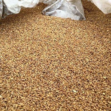 Продам пшеницу, урожай 2021 года.