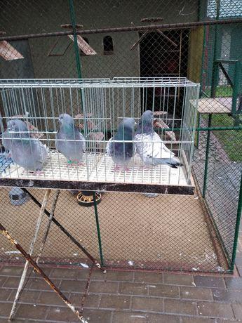 Gołębie ozdobne rysie