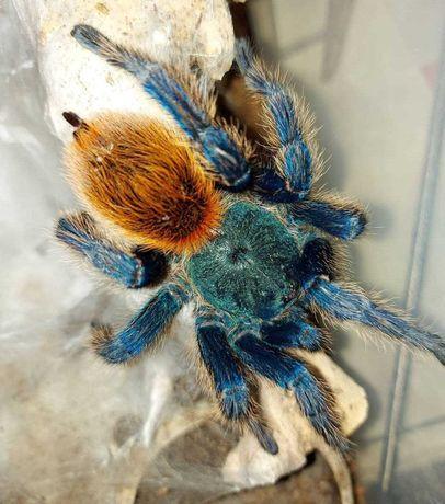 tarantula spider of Ukraine good home pets