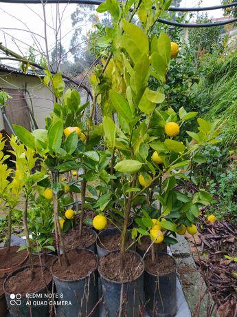 Vendo árvores de Lima e limoeiros.