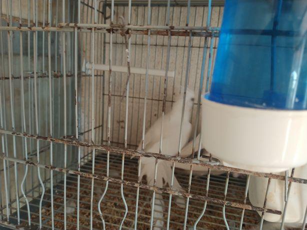 Caturas albinas prontas a criar