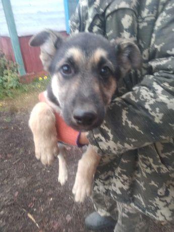 Продам собаку немецкой овчарки