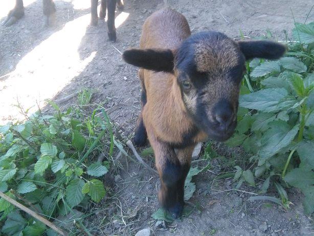 Tryki owce  kameruńskie
