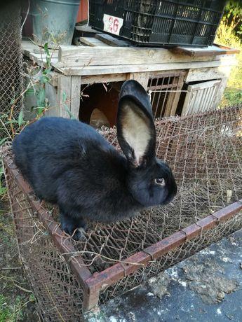 Продам кролів велетнів