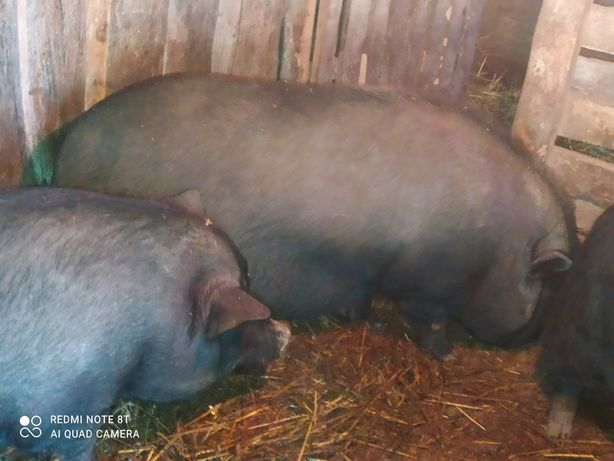 Свиноматки крупні вагітні від Венгерської пухової мангалиці