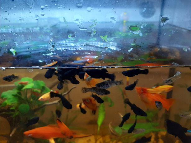 Peixes Mollys juvenis