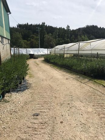oliveira galega