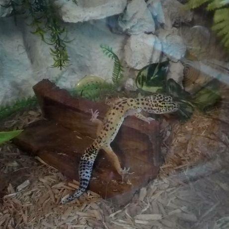 Gekon lamparci na sprzedaż(samica)