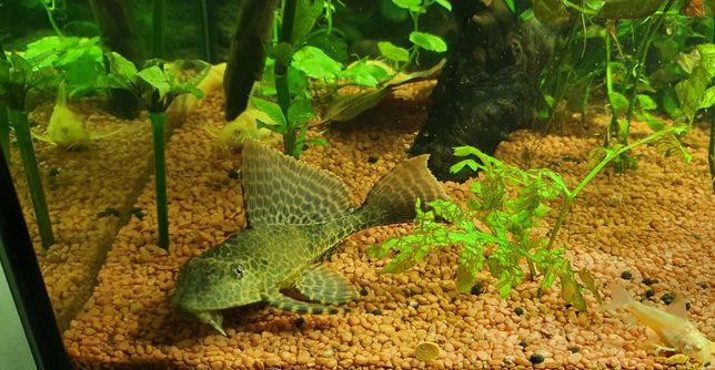 Plekostomus, skalar, glonojad syjamski, kiryśnik - ryby akwariowe mix