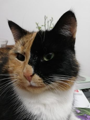 Zaginęła kotka trikolor