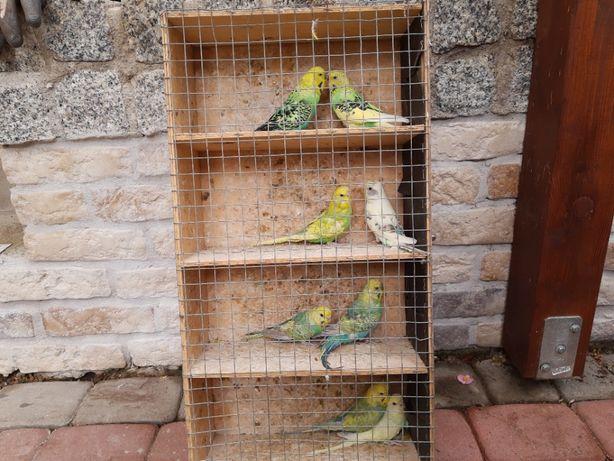 Papugi faliste, papużki