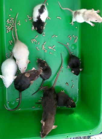 Уматные  крысята
