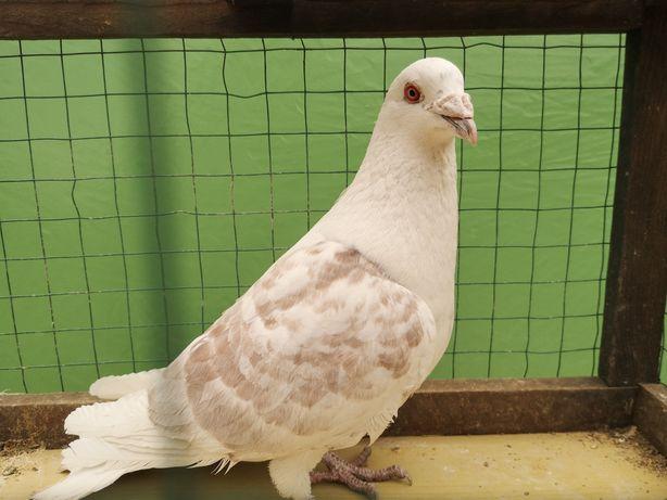 Gołębie staropolskie samiec