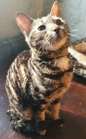 Котенок кошка кот метис корниш Рекс , Девон Рекс