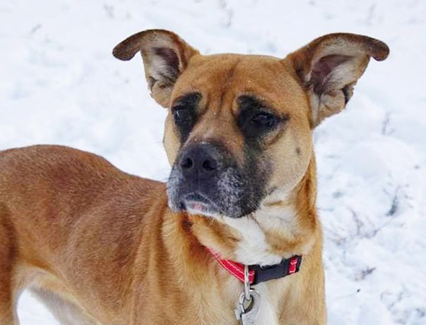 Метис боксера - замечательная молодая собачка Фредди ищет дом!