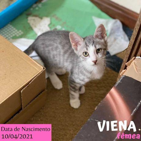 Gatinha 3 meses para adoção (Viena)