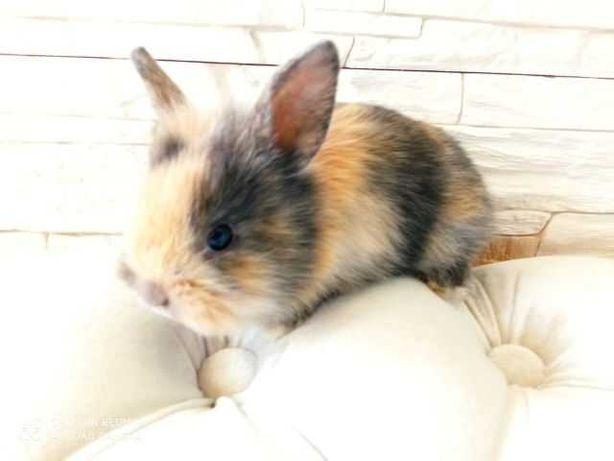 królik miniaturka króliki miniaturki karzelki-Garwolin