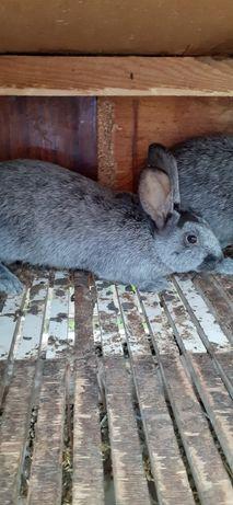 Продам кроликов породы Полтавское Серебро.