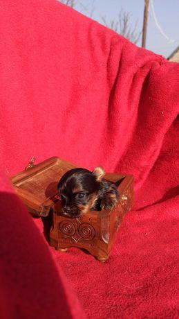 Продаются курносенькие щенята Йоркширского терьера