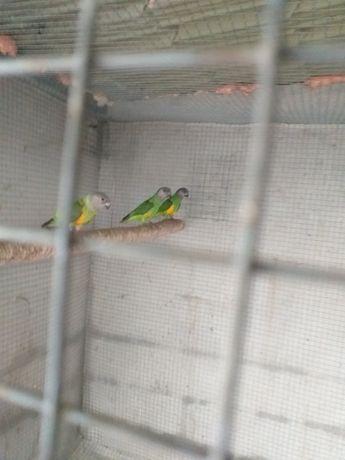 Papagaios senegal