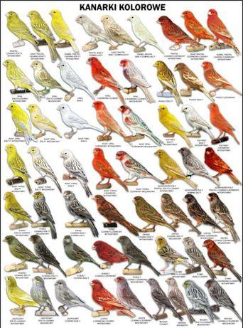 Plakaty Kanarki kolorowe 70x100 komplet