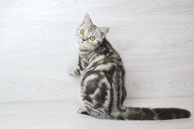 Роскoшнaя шотландская кошечка. Котята шотландские