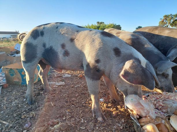porcos 90/100kg casal