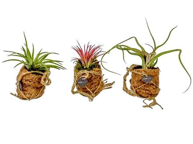 Тилландсия - Растения и Цветы оптом для озеленений, оформлений