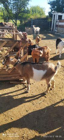 Продам альпийских коз