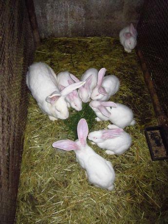 Породисті кролики білий велетень - різний вік. 1, 2, 3 місяці.