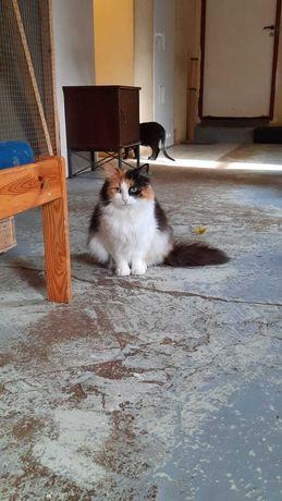 Przepiękna trójkolorowa kotka Aisha