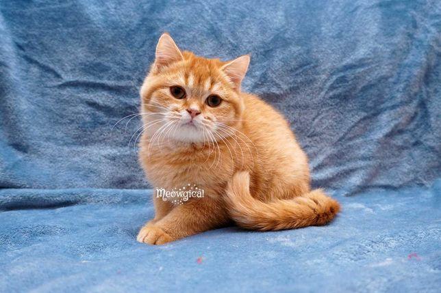 Ласковый рыжий прямоухий котенок