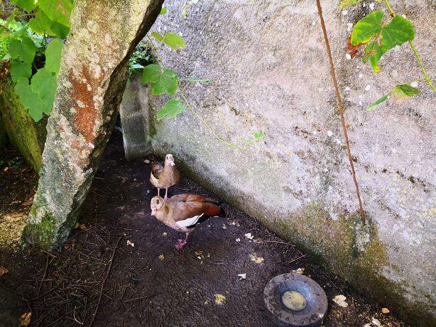 Patos de raça especial