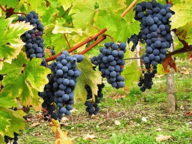 Uvas para vinificação