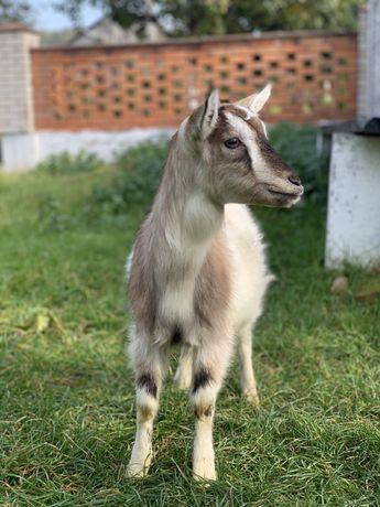 Продам козу, козочку