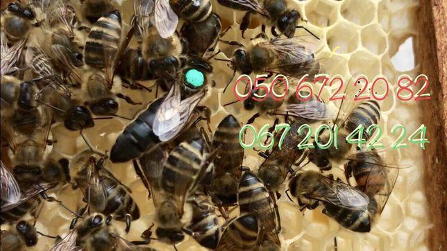 Матка плодная 2020 пчеломатка, бджоломатка. (Пчелопакеты 2020 )