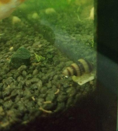 Ślimak helenka na inne ślimaki