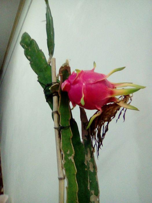 Pitaias fruta do dragão