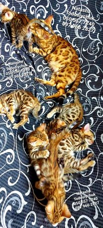 Яскраві Кольорові кошенята тільки цього літа